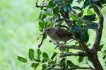 HSNP Arlington Lawn House Sparrow
