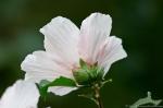 HSNP Arlington Lawn Pink Peony