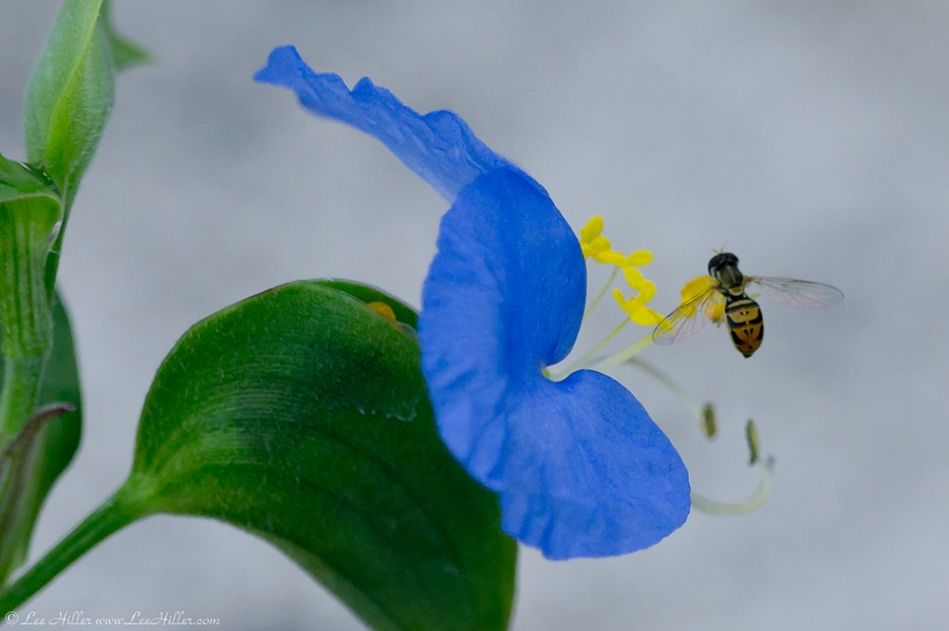 HSNP Carriage Road Asiatic Dayflower False Bee