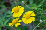 HSNP Carriage Road Yellow Sneezeweed