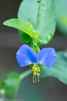 HSNP Floral Trail Asiatic Dayflower