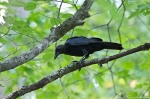 HSNP Hot Springs Mountain Road American Crow