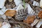 HSNP Hot Springs Mountain Trail Pine Cone