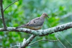 HSNP Peak Trail Mourning Dove