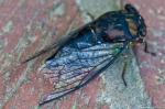 HSNP Promenade Cicada