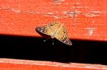 HSNP Promenade Hackberry Emperor Butterfly