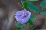 HSNP Hot Springs Mt Floral Trail Butterfly Pea