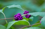 HSNP North Mt Upper Dogwood Trail Callicarpa