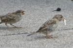 Hot Springs Central Avenue House Sparrow Families