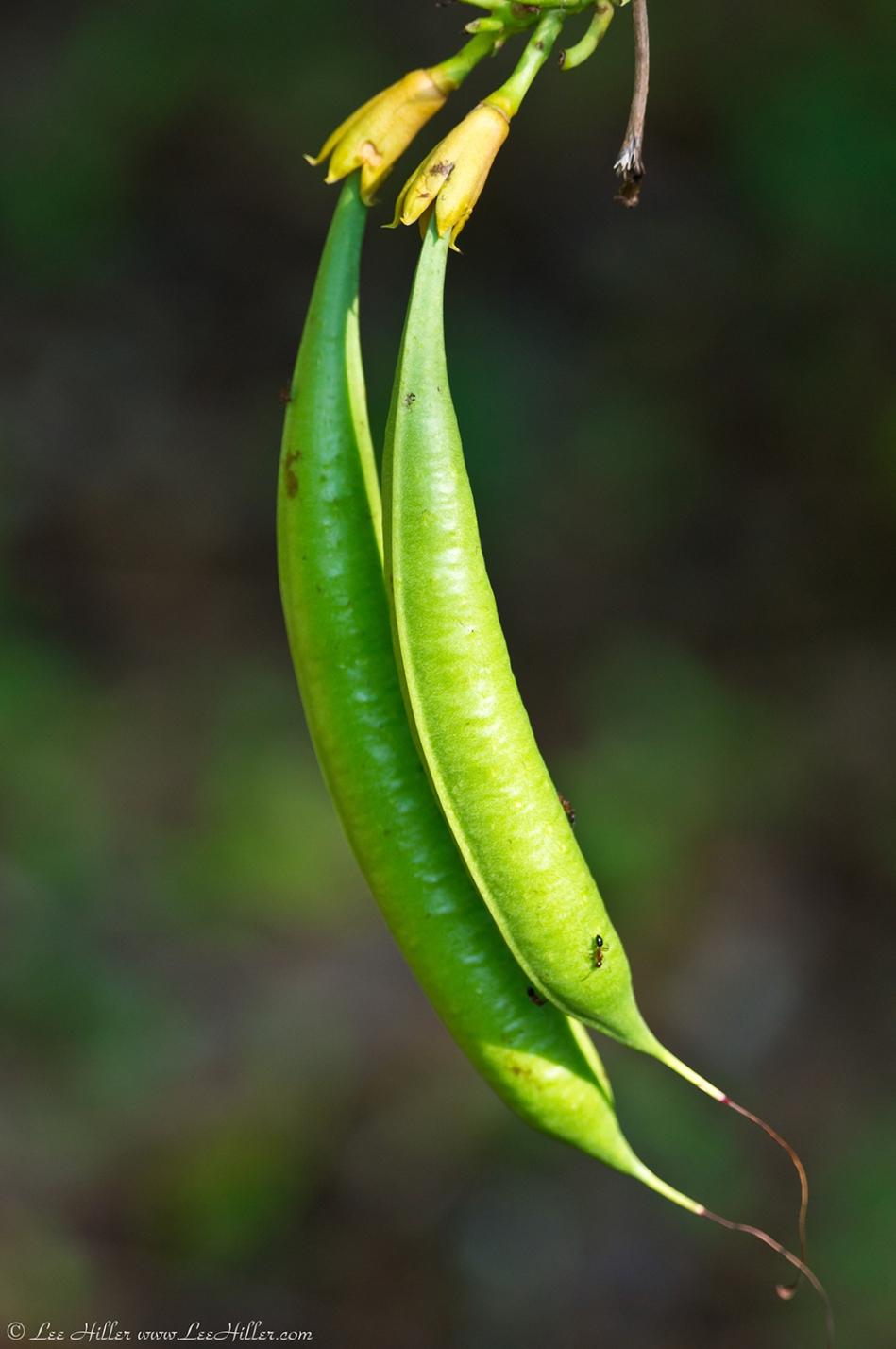 HSNP West Mountain Trail Green Beans?