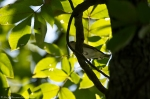 HSNP West Mountain Trail Red-Eyed Vireo