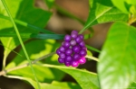 HSNP West MT Oak Trail Callicarpa American Beautyberry