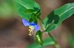 HSNP West MT Oak Trail Asiatic Dayflower