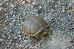HSNP West MT Oak Trail Small Box Turtle
