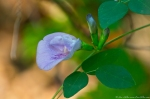 HSNP West MT Oak Trail Butterfly Pea