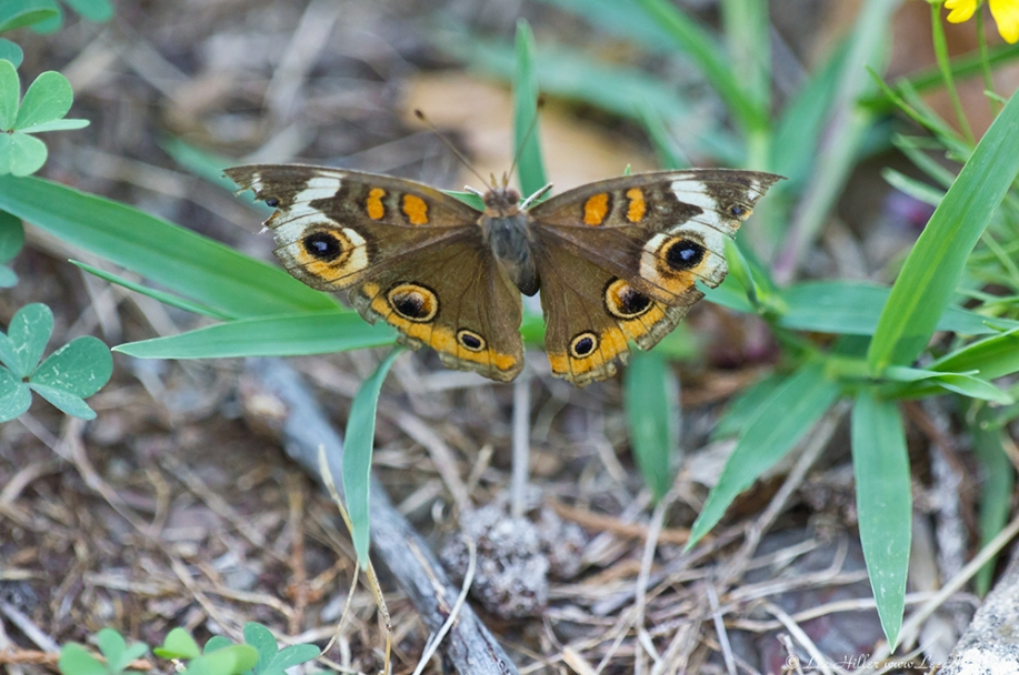 HSNP Carriage Road Common Buckeye Butterfly