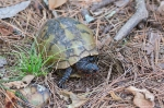 HSNP Sunset Trail Sec1 Male Box Turtle