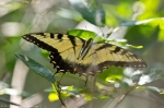 HSNP Short Cut Trail Eastern Tiger Swallowtail Butterfly