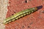 HSNP Pomenade Caterpillar