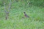 HSNP Promenade Juvenile American Robin