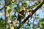 HSNP Pomenade Juvenile House Sparrow