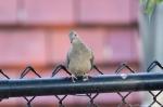 HSNP Pomenade Mourning Dove