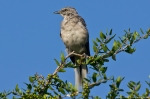 HSNP Pomenade Hook Beak the Northern Mockingbird