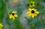 HSNP Tufa Terrace Trail Black Eyed Susan