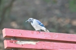 HSNP Tufa Terrace Trail Molting Blue Jay