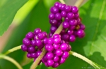 HSNP Lower Dogwood American Beautyberry Gallon Plant