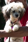 HSNP Hot Springs Mountain Road Poodle Puppy
