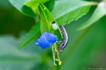 HSNP Hot Springs Mountain Road Asiatic Dayflower Caterpillar