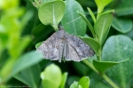 HSNP Hot Springs Mountain Road Grey Moth? Butterfly?