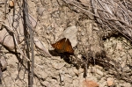 HSNP Hot Springs Mountain Rd Tawny Emperor Butterfly