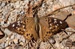 HSNP Hot Springs Mountain Trail Hackberry Emperor Butterfly