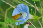 HSNP Hot Springs Mt Rd Morning Glory Delaware Skipper