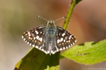 HSNP North Mountain Loop Common Checkered Skipper
