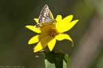 Nth Mt Loop Woodland Sunflower Common Checkered Skipper