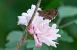 HSNP Arlington Lawn Pink Peony Crossline Skipper