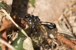 HSNP Hot Springs Mountain Rd Mating Wasps