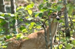 HSNP Hot Springs Mountain Whitetail Deer
