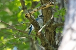 HSNP North Mountain Blue Jay