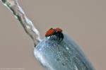 HSNP Promenade Redback Jumping Spider