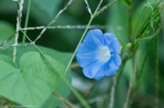 HSNP Hot Springs Mountain Rd Heavenly Blues Morning Glory