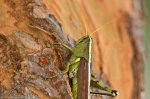 Hot Springs Central Avenue Grasshopper Missing Leg