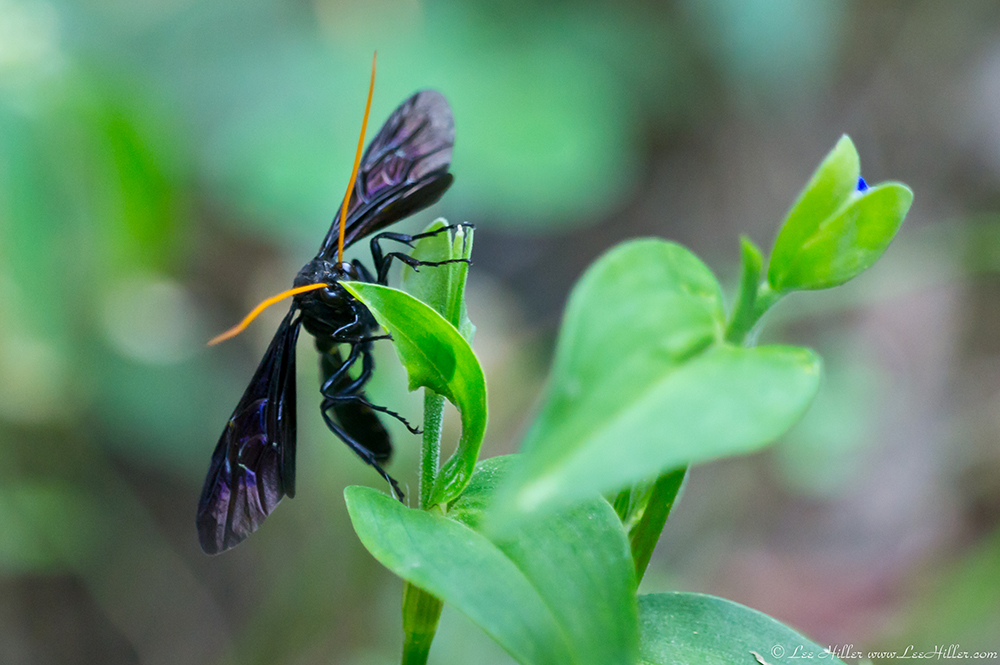 orange antennae black spider wasp hike our planet hikeourplanet