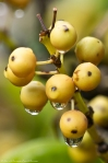 HSNP Peak Trail Yellow Berries Rain Drops
