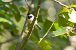 HSNP Sunset Trail Carolina Chickadee