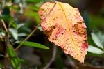 HSNP West Mt Oak Trail Autumn Leaf