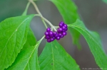 HSNP Floral Trail American Beautyberry Gallon Plant